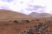 Goats in the stone desert of Fuerteventura