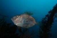 Rank 8 Cat. Fish by Dr. Armin Trutnau GER-1