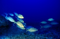 Group of Snapper